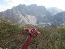 Houseleeken på bergöverkanten och bergmaxima på bakgrunden Fotografering för Bildbyråer