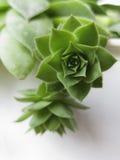Houseleekinstallatie, succulente sempervivumtectorum, - sluit omhoog royalty-vrije stock foto's