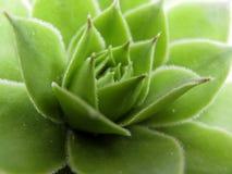 Houseleekinstallatie, succulente sempervivumtectorum, - sluit omhoog royalty-vrije stock afbeelding