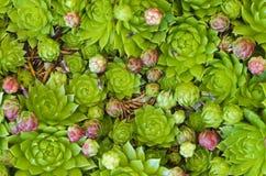 Houseleekplants Imagens de Stock Royalty Free