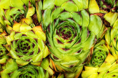 Houseleeks Royalty Free Stock Photo