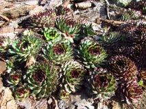 Houseleeks, Latin name Sempervivum, Crassulaceae family, colorful cultivar of popular garden plant. Houseleeks, Sempervivum, Crassulaceae family, colorful stock images