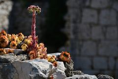 Houselleks Sempervivum tectorum plants growing on old murral of decaying building in Croatia, Adriatic Royalty Free Stock Photos