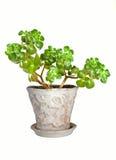 houseplant δέντρο νεφριτών Στοκ Εικόνες