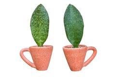 Houseplant - φυτό φύλλων ένα σε δοχείο φυτό Στοκ Φωτογραφίες