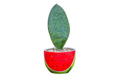 Houseplant - φυτό φύλλων ένα σε δοχείο φυτό Στοκ Εικόνες