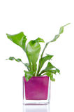 Houseplant Royalty Free Stock Photography