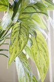 Houseplant. Royalty Free Stock Images
