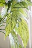 Houseplant. Royalty Free Stock Images
