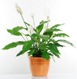 Houseplant Royalty Free Stock Photo