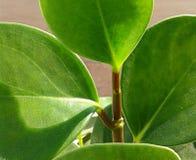 houseplant Royalty-vrije Stock Fotografie