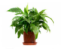 Houseplant. In pot isolated on white background Stock Images