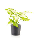 houseplant Immagine Stock
