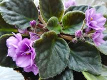 Houseplant african violets stock photography