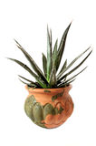 Houseplant Aloe Royalty Free Stock Image
