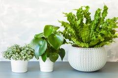 Houseplant Asplenium nidus, peperomia and fittonia in flowerpot stock image