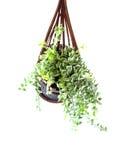 Houseplant. Basket isolated on white background Stock Photography