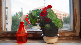 Houseplant with big red flowers and red sprinkler on obsolete windowsill in front of window Stock Image