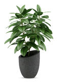 Houseplant in black pot isolated on white Royalty Free Stock Photo