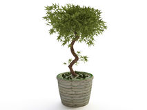 Houseplant, Bonsai Tree in Ceramic Flower Pot Royalty Free Stock Photos