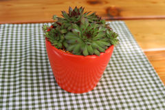 Houseplant cactus in a red pot Stock Photo