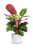 Houseplant - Calathea roseopicta a potted plant  over wh Royalty Free Stock Images