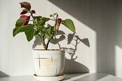 Houseplant in a ceramic pot Stock Photo