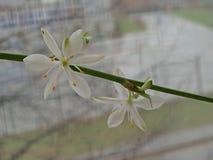 Flowering branch of Chlorophytum stock images