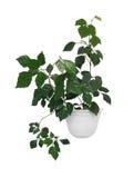 Houseplant cissus kształtujący na bielu odizolowywającym zdjęcie stock