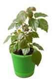 Houseplant cissus rhombifolia fotografia stock