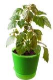 Houseplant a cissus rhombifolia Stock Image