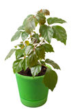 Houseplant a cissus rhombifolia Stock Photography