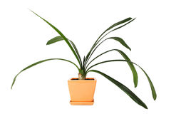 Houseplant clivia in flowerpot. Houseplant clivia in orange clay flowerpot, isolated stock photography