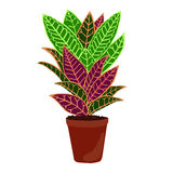Houseplant: codiaeum variegatum. Isolated potted plant on a white background. Vector illustration stock illustration