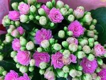 Houseplant com as flores cor-de-rosa brilhantes Kalanchoe fotos de stock