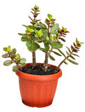 Houseplant crassula or monetary tree Stock Images