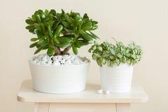 Houseplant Crassula ovata jade plant money tree and fittonia in Stock Image