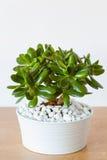 Houseplant Crassula ovata Jadebetriebsgeldbaum im weißen Topf Lizenzfreie Stockfotos