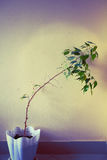 Houseplant with a curved trunk in a pot Royalty Free Stock Image
