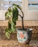 Houseplant de inclinación en florero de la cerámica imagen de archivo libre de regalías