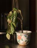 Houseplant de inclinación en florero de la cerámica foto de archivo libre de regalías