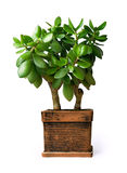 Houseplant de jade d'isolement sur le fond blanc Images stock