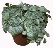 Houseplant de los albivenis de Fittonia Imagen de archivo libre de regalías