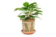 Houseplant in de pot, op wit wordt geïsoleerd dat Royalty-vrije Stock Foto's