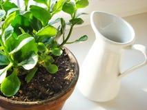 Houseplant do blossfeldiana de Kalanchoe e um jarro Fotografia de Stock