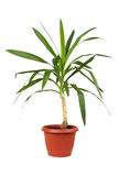 Houseplant dracaena in flowerpot Stock Images