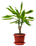 Houseplant Dracaena fragans Stock Images