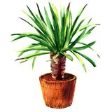 Houseplant Dracaena In A Pot, Isolated, Watercolor Illustration On White