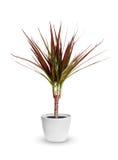 Houseplant - dracaena marginata doniczkowa roślina odizolowywająca nad whi Obrazy Royalty Free
