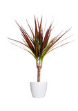 Houseplant - dracaena marginata a potted plant isolated over white stock photos